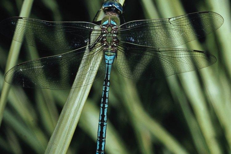 Las libélulas pasan parte de su vida en un ambiente acuático.