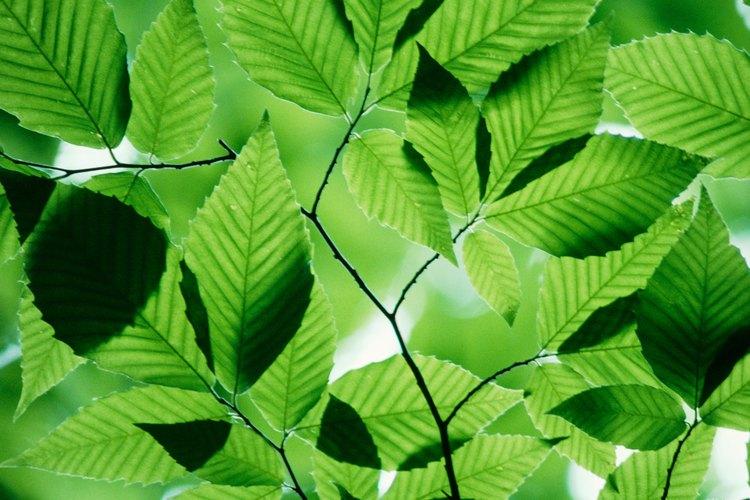 Las hojas de las plantas se recolectan pero no se comen.