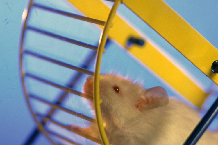 Los hámsters albinos tienen pelo blanco en todo el cuerpo.