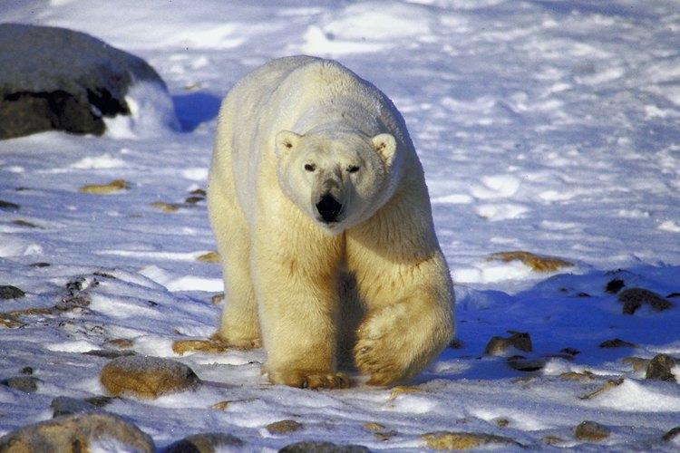 La mayoría de los osos polares viven en el hielo.