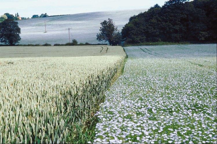 Las plantas de linaza son recogidas a mano, abrigadas y secadas.