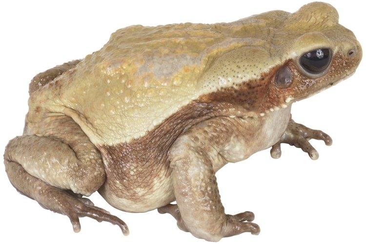 Evita que las ranas invadan tu estanque implementando estrategias de control.