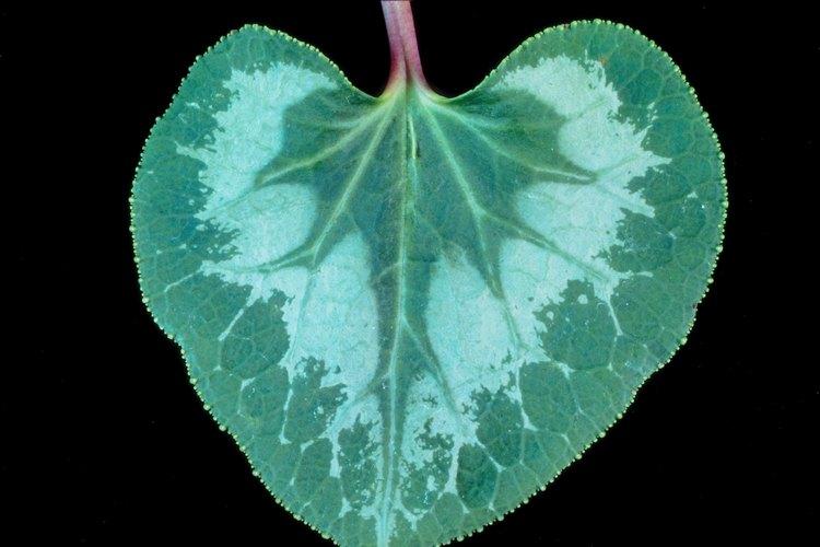 Este hongo infecta a las plantas en cualquier etapa de crecimiento y hace que las hojas se marchiten.