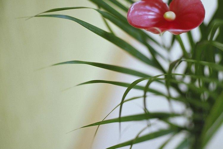 Fertiliza los anturios cada dos meses con alimentos vegetales para una buena floración.