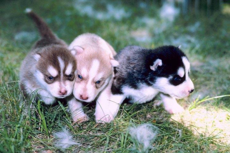 Los cachorros comienzan a comer papilla como complemento de la leche materna cuando tienen alrededor de 4 semanas de nacidos.