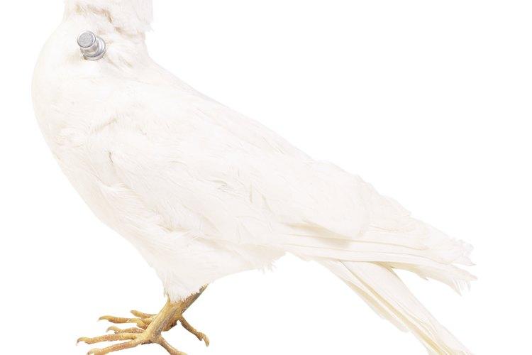 Los loros silvestres Quaker alcanzan la altura promedio de una paloma.