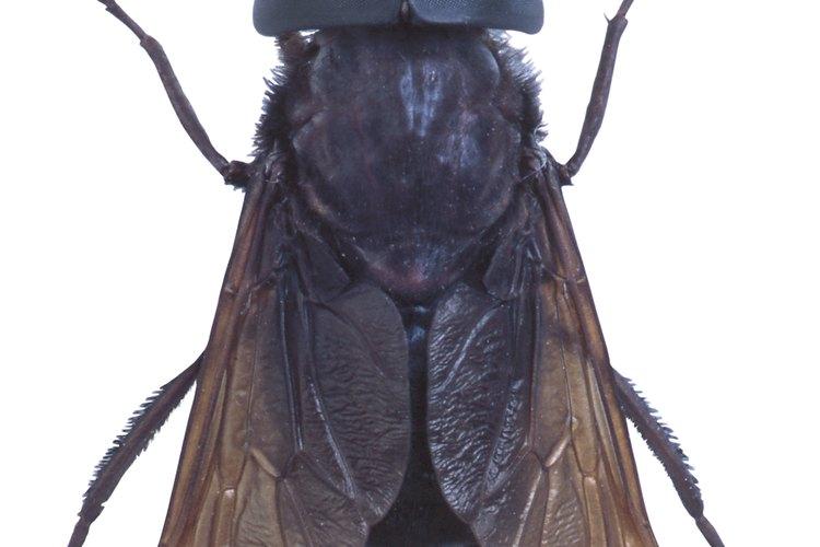 No todos los insectos negros con alas son moscas.
