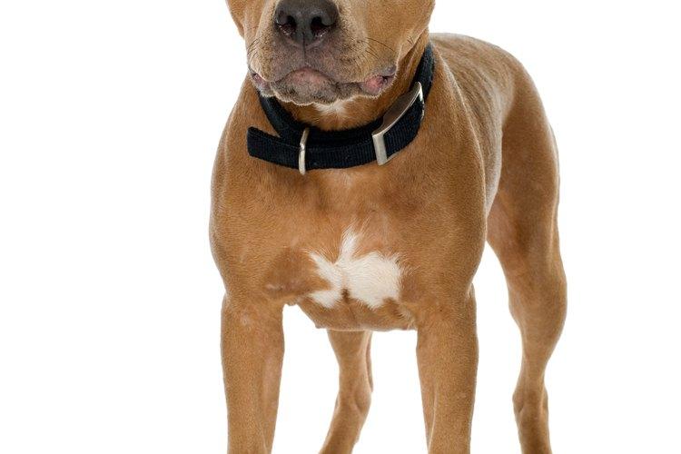 Algunos estados tienen lineamientos sobre qué tipo de pit bulls están permitidos.
