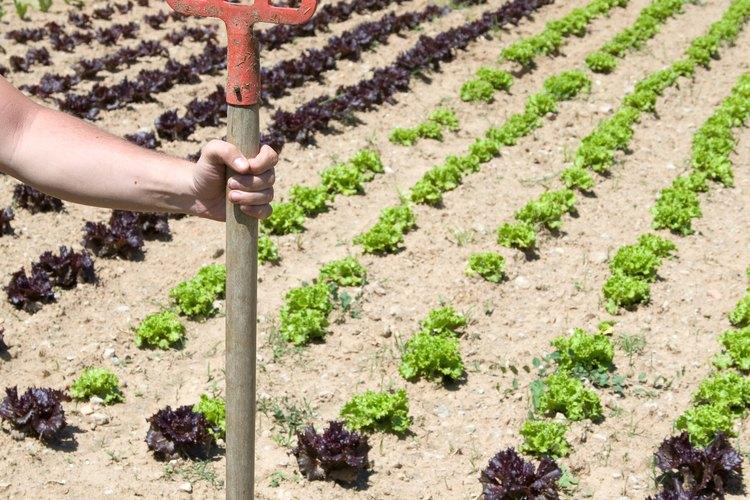 Los vegetales del jardín tienen períodos de maduración diferentes desde la plantación hasta la cosecha.