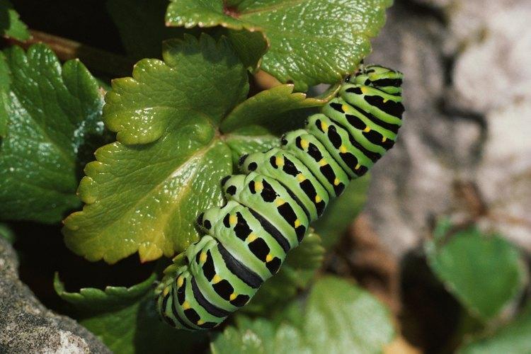 Si no se las controla, las orugas pueden invadir un jardín y destruir las plantas.