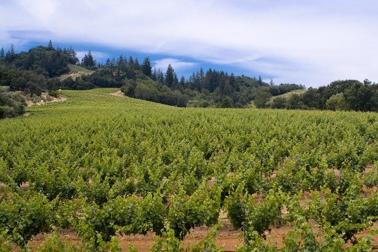 Cosechar uvas sirve como metáfora de divulgar el mensaje de Cristo.