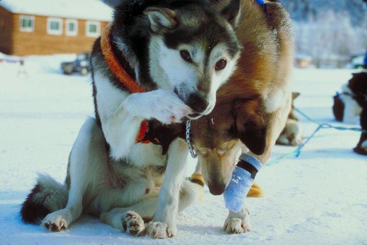 Las almohadillas de los pies duras y bien situadas son críticas para los perros de trineo, ya que ejecutan cientos de kilómetros de una sola vez.