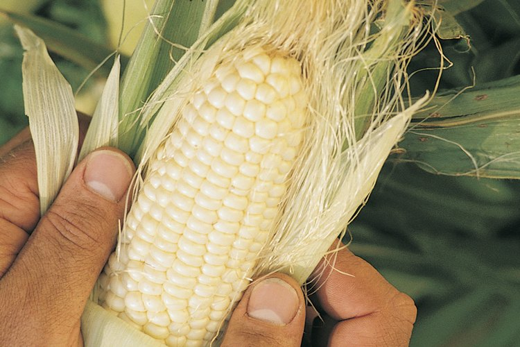 La sémola de maíz es maíz que no tiene el germen y por lo general se lo hierve.