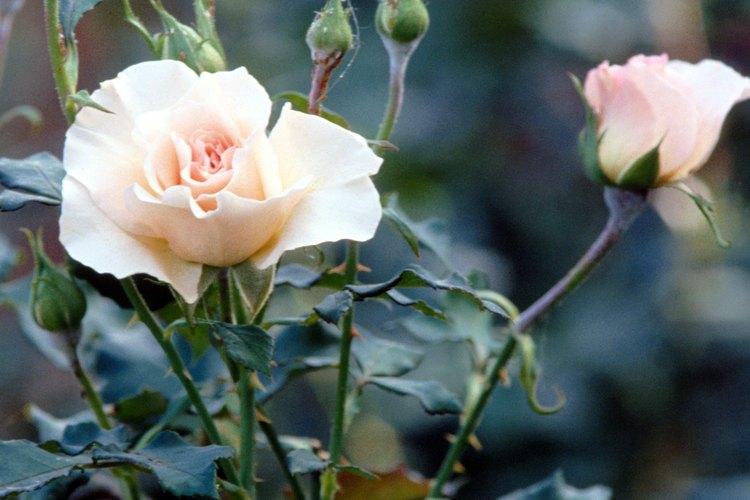 Las rosas son presa fácil para las enfermedades por hongos.