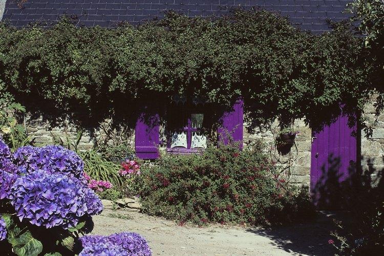 La poda agresiva puede impedir la floración en las plantas de hortensia.