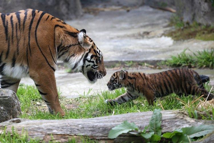 Cómo comprar un tigre bebé