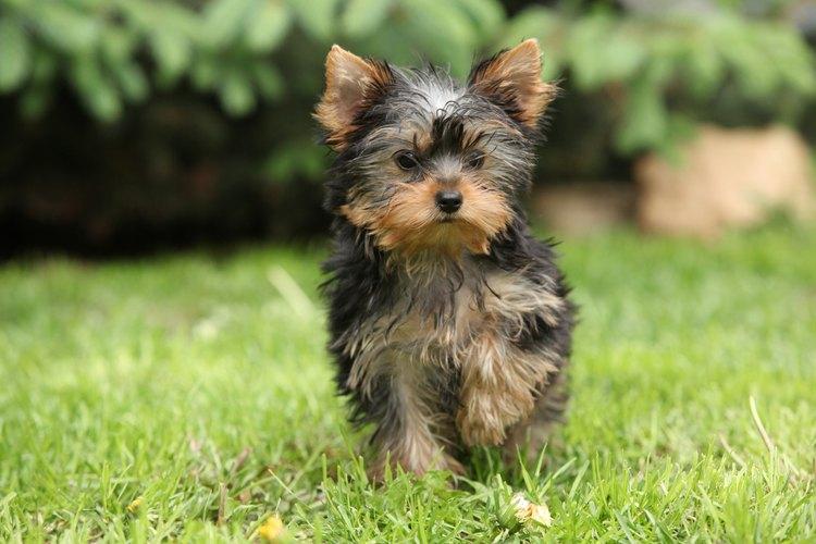 Los Yorkshire terriers son propensos a un tipo de disfunción del hígado que causa la sialorrea.