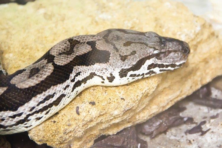 Las boas constrictoras son grandes víboras no venenosas.