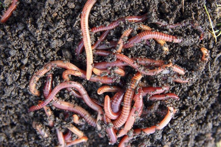 Las lombrices de tierra viven debajo de la tierra en agujeros que ellas mismas crean