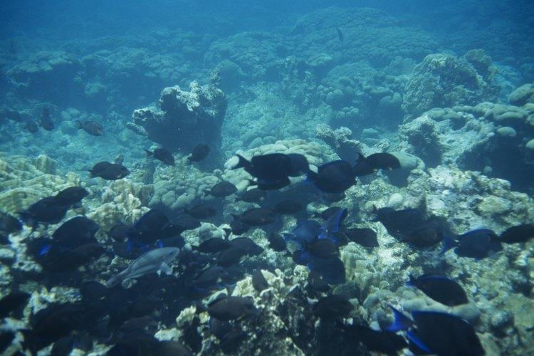 Los hongos que crecen en el océano pueden infectar a corales y peces.