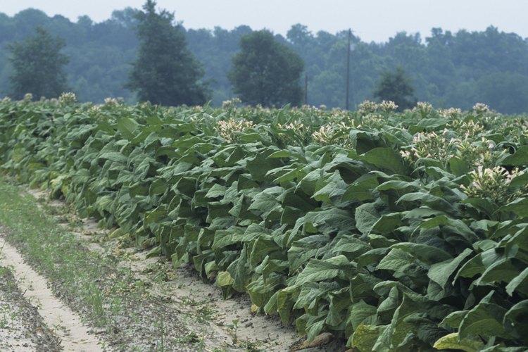El tabaco formaba parte de la mayor parte de los cultivos de las colonias del sur.