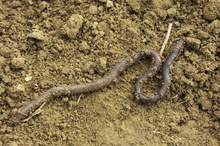 La mayoría de las lombrices deja sus agujeros por la noche para salir a alimentarse.