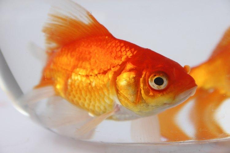 Un pez dorado común es adecuado para comenzar un acuario de agua dulce.
