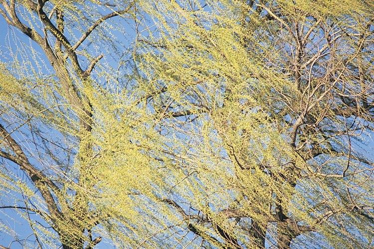 Los sauces llorones son árboles hermosos que pueden crecer a partir de una rama.