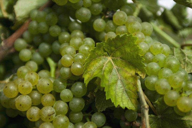 Una parra madura puede producir hasta 50 libras (22,5 kg) de uvas por estación.