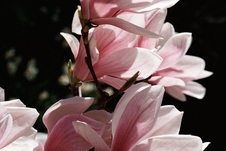 Las magnolias crecen bien en macetas grandes.
