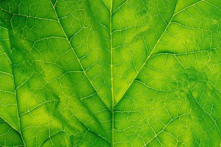 Las hojas de espinaca contienen clorofila, carotenoides y otros pigmentos.