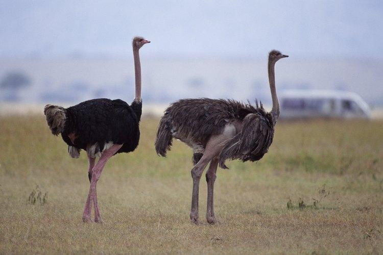 Un huevo de avestruz toma 42 días para nacer.