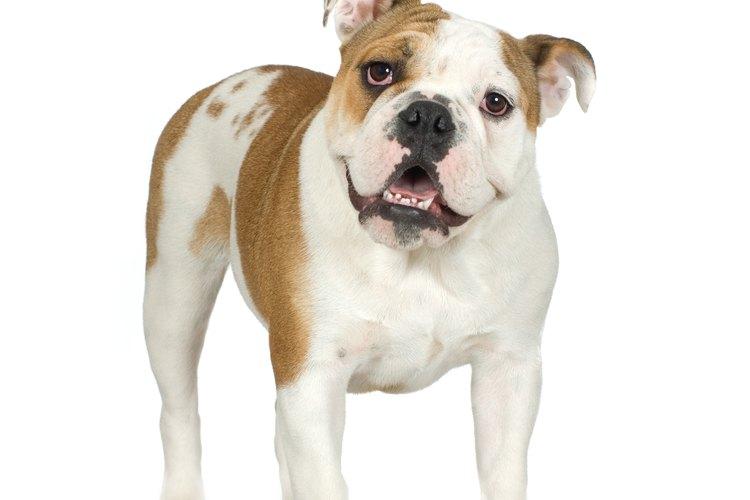 Adopta un adorable bulldog inglés.