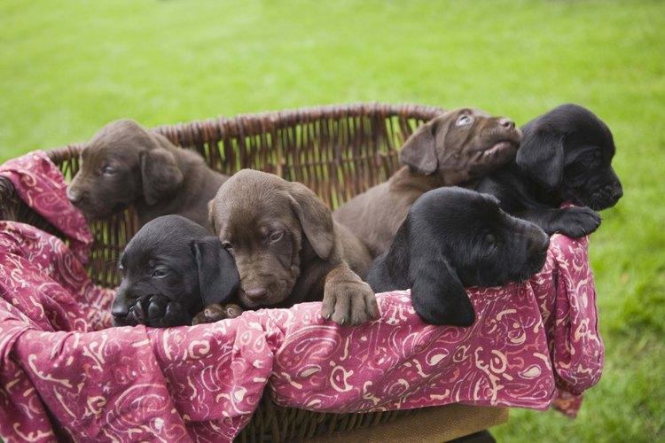 Como todo cachorro, el labrador debe ser entrenado para no ensuciar tu casa.