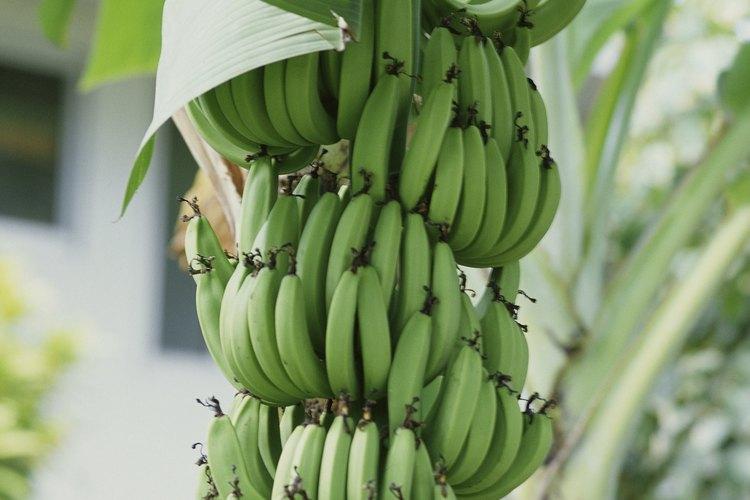 Plátanos listos para ser cosechados.