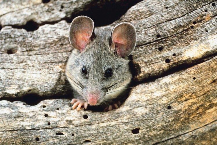 C mo eliminar las ratas del exterior de tu hogar - Como eliminar ratas en casa ...