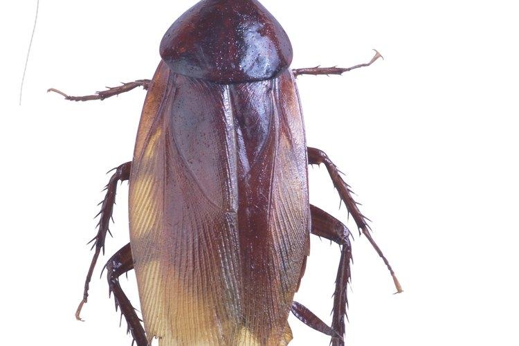 Las cucarachas como esta se ven comúnmente en las despensas y cocinas donde hay comida.