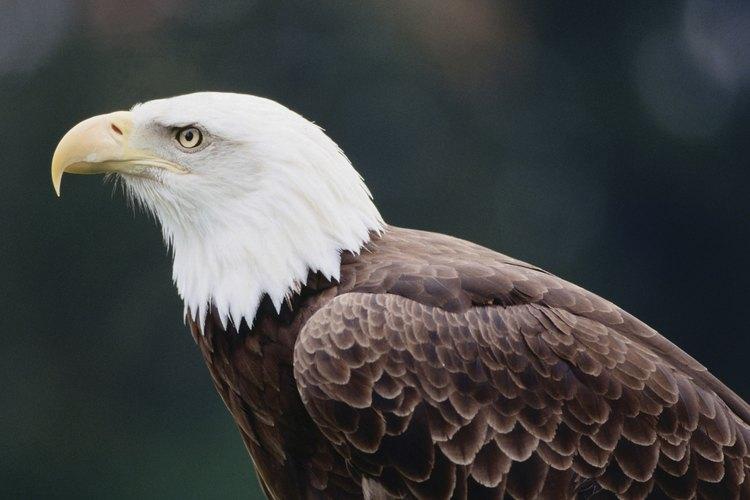 El águila calva aparece en el Gran Sello de los Estados Unidos.