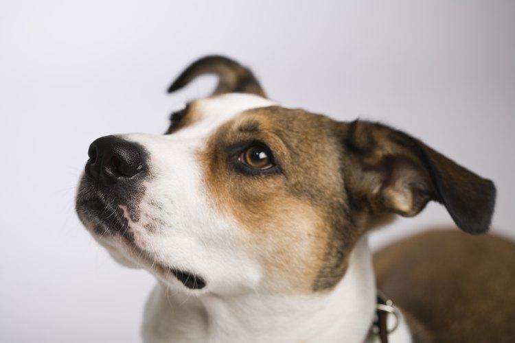 Muchas perras tienen su primer estro a los 6 meses de edad.
