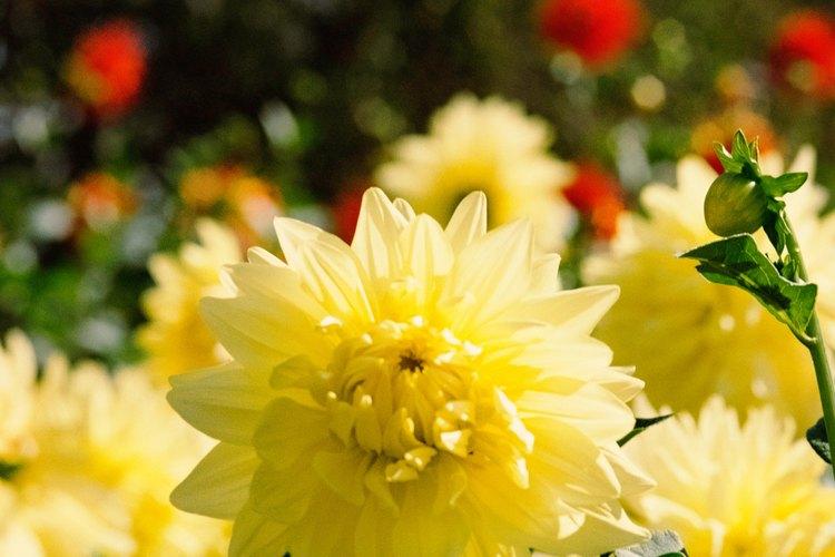 Planta caléndulas en tu jardín.