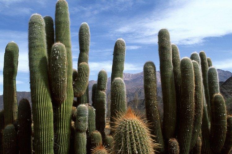 Grupo de cactus.