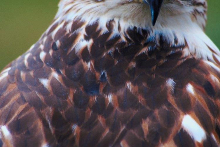 El afilado pico curvo de un halcón le ayuda a capturar a sus presas.