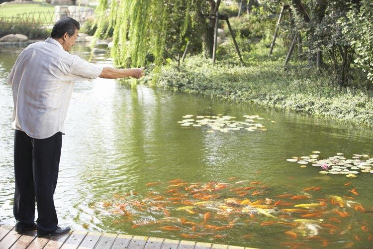 Un buen estanque koi es tan agradable para los peces como para las personas.