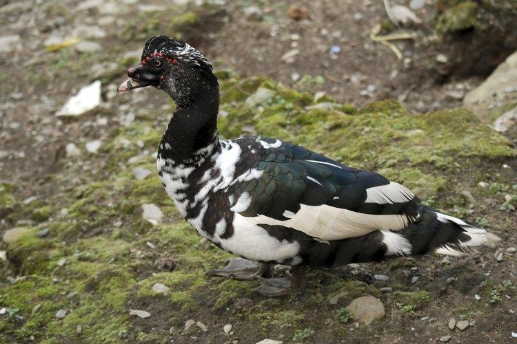 Un pato criollo macho.