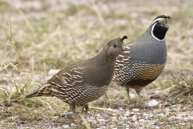Una codorniz macho (derecha) y hembra (izquierda) en el piso.