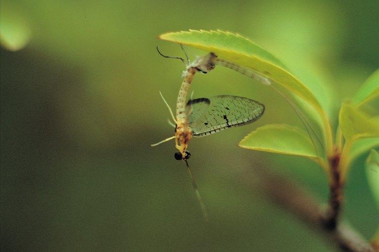 Las libélulas en desarrollo mudan hasta 15 veces antes de llegar a la etapa adulta.