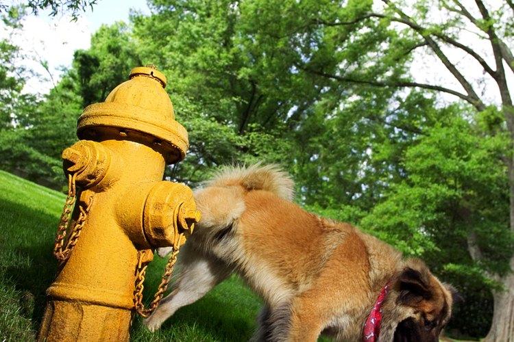 Los perros machos marcan territorio al orinar; si lo hacen en cuclillas, el césped y las plantas sufren.
