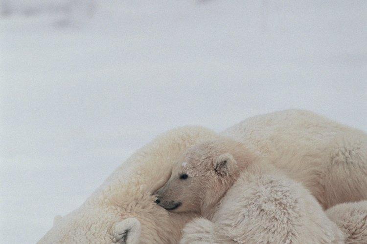 Los cambios climáticos en los hábitats de los osos polares los podrían llevar a la extinción en 2050.
