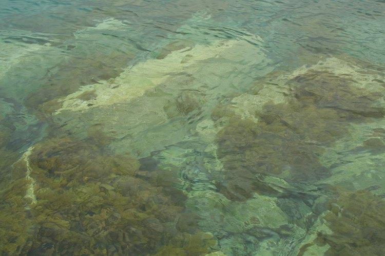 Las algas pardas a menudo se adhieren a las rocas debajo del agua.