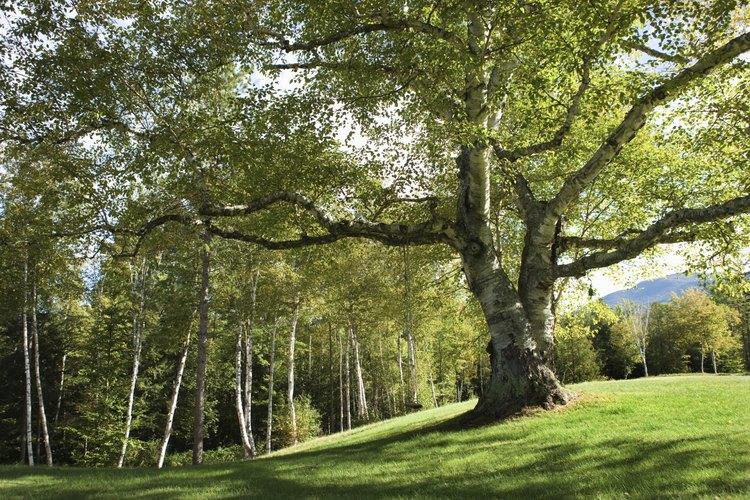 Elimina el moho negro de tus árboles de cítricos fácilmente.